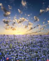 bluebonnets na região montanhosa do texas foto