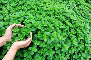 mãos de mulher proteger planta hortelã crescer na horta foto