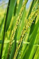 linda orelha de flor de arroz no campo de arroz, Tailândia foto