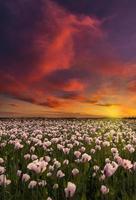 milhares de papoilas brancas sob o céu vermelho foto