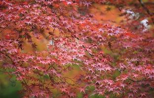 folhas vermelhas de outono no japão kyoto