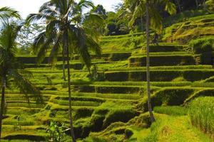 terraço de arroz tegalalang. bali foto