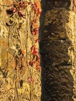 folhas de outono vermelhas em uma parede dentro da fortaleza de kalemegdan, belgrado foto