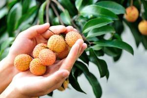 mão de mulher proteger frutas lichia na árvore foto