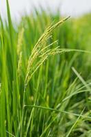 espiga de arroz no campo de arroz. foto