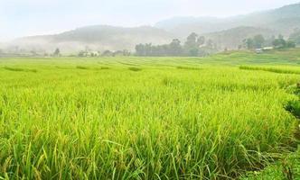 arrozal em terraços, tailândia