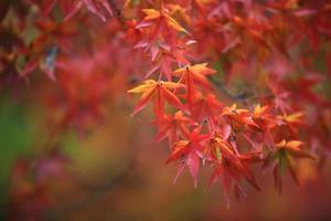 folhas vermelhas de outono no japão kyoto foto