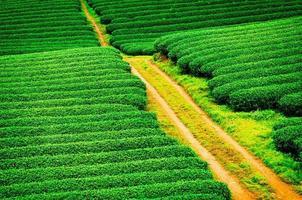bela plantação de chá verde fresco em moc chau, Vietnã. foto