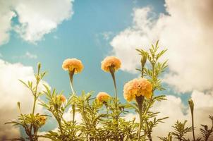malmequeres ou tagetes erecta flor vintage