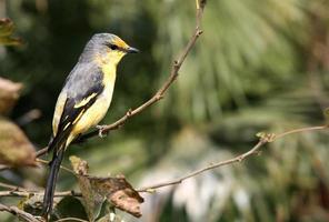 pequeno pássaro amarelo foto
