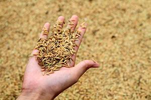 grão de arroz nas mãos foto