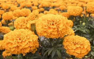 calêndula laranja - flor cempasuchil foto