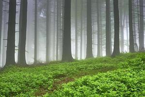 floresta de abetos foto
