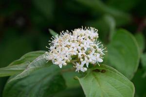 detalhe de flor de corniso osier vermelho (cornus sericea)