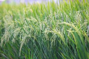 colheita de arroz a luz do sol foto