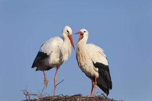 casal de cegonha branca foto