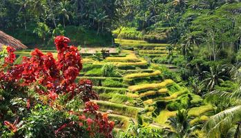 terraço de arroz foto