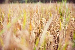 arroz em bali foto