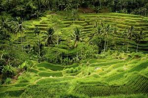 terraços de arroz bali foto