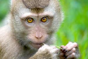 macaco mastigando grama, koh samui, Tailândia.