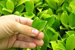 folhas de chá perfeitas foto