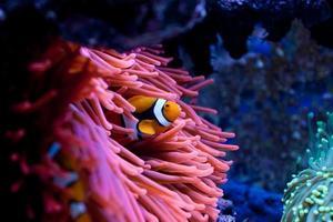 peixe palhaço amphiprion percula foto