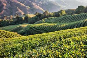 plantação de chá na luz solar da manhã foto