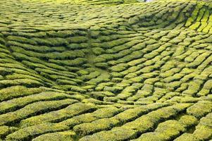 plantação de chá cameron highlands pahang malásia
