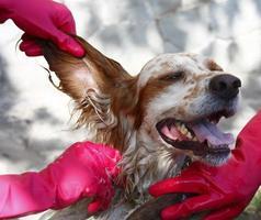 pessoas vestindo luvas vermelhas lavando um cachorro foto