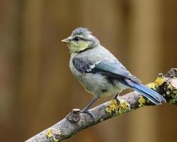 melharuco azul juvenil
