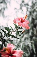flor de hibisco rosa em flor foto