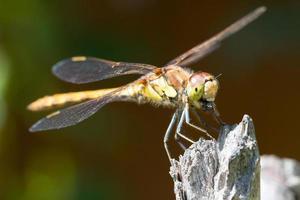libélula comum do darter foto