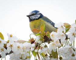 pássaro chapim-azul na filial foto