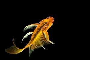 peixe koi borboleta