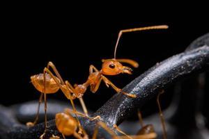 formiga vermelha macro foto