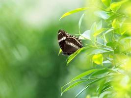 borboleta preta no jardim foto