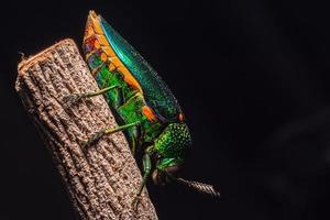 besouro macro buprestidae em fundo preto foto