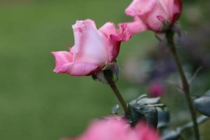 closeup de rosas cor de rosa foto