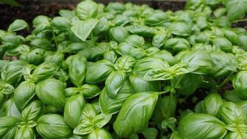 cultivo de manjericão italiano