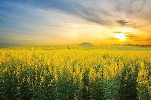 campo de crotalaria sob céu pôr do sol foto