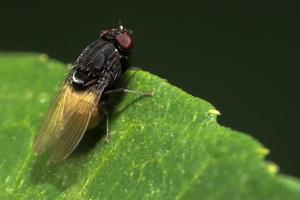 fechar em cima da mosca da fruta na borda da folha