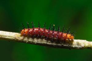 close-up de lagarta vermelha foto