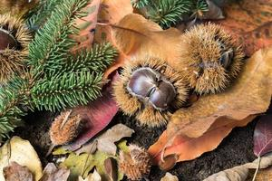 castanhas, folhas e aparas de pinheiro foto