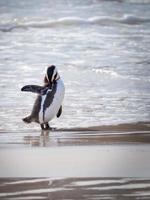 pinguim na praia foto