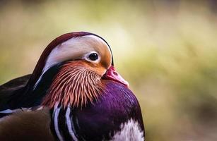 close-up de pato mandarim foto