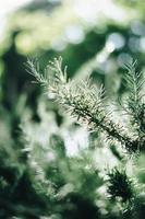 agulhas de pinheiro em foco nítido foto