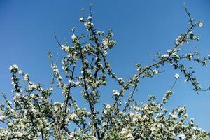 flores de maçã e céu azul claro foto