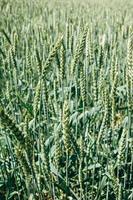 campo de trigo verde foto