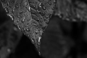 foto em escala de cinza de folhas molhadas