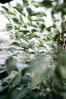 folhas verdes em uma planta foto